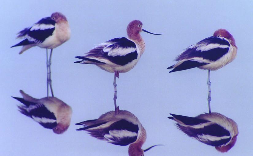 7: The birds of Mono Lake