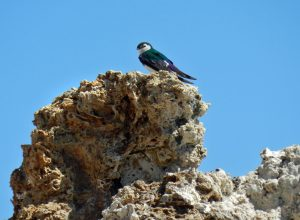You may also see violet green swallows sitting atop of tufa towers. Photo by Sandra Noll