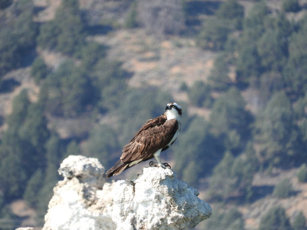 Osprey are large birds of prey that nest on tufa towers in Mono Lake. Photo by Sandra Noll
